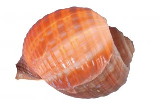"""Muschel Tischleuchte """"Nautilus"""""""